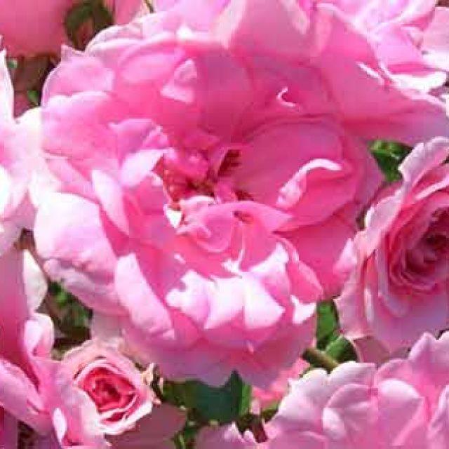 Le rose Capitoline